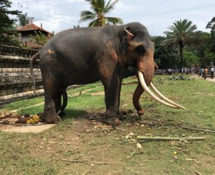 スリランカの古都・キャンディへお祭り中、昼間の仏歯寺は行進を控えた像でいっぱい
